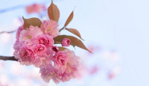39102437 - sakura. spring blooming pink cherry on the sky background
