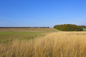 46201782 - a small copse with autumnal trees and dry yellow grass amongst cultivated fields in the yorkshire wolds england under a blue sky