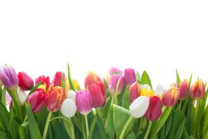 35806717 - spring tulips flowers on the white background